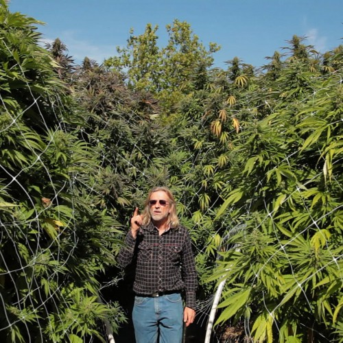 Купить семена Jamaica Sativa