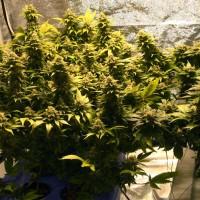 Семена конопли выращивание в домашних условиях целебные свойства марихуаны