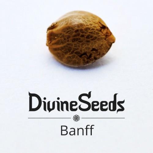 Купить семена Bаnff