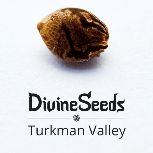 Купить семена Turkman Valley