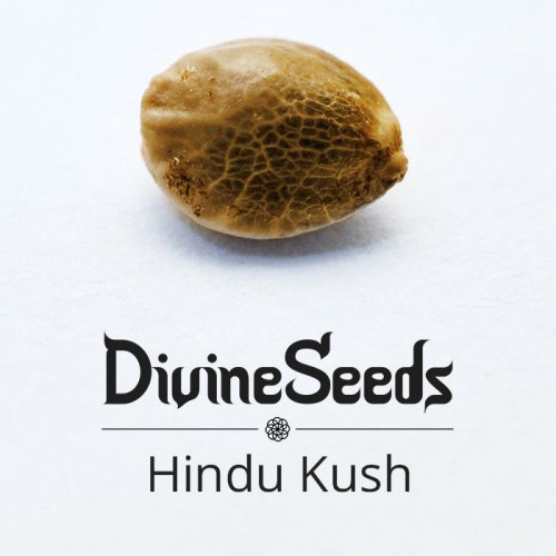Купить семена Hindu Kush