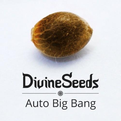 Купить семена Auto Big Bang